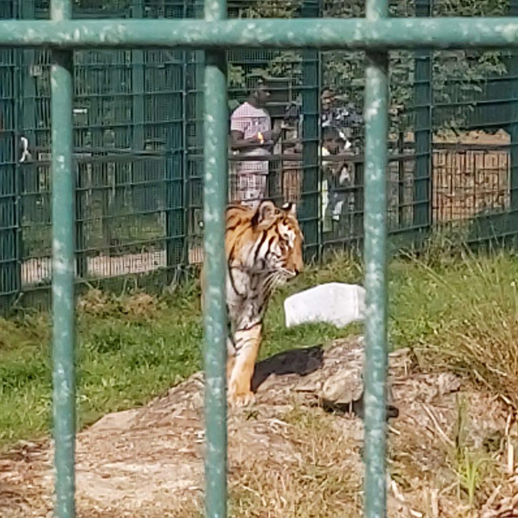 A tiger on patrol